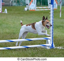Rat Terrier at Dog Agility Trial - Rat Terrier Leaping Over...