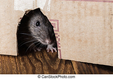 rat, uit glurend, van, de doos