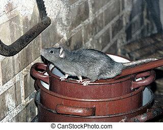 rata, cocina, ollas