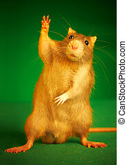 rata, fondo verde
