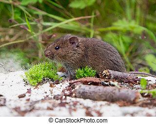 ratazana, natural, (microtus, habitat, arvalis), comum