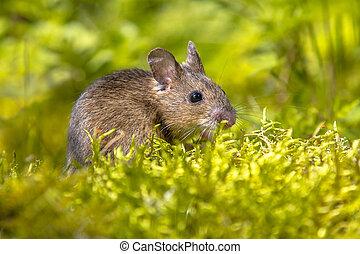 rato, madeira, verde, arredores