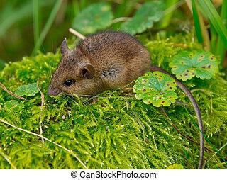 rato, madeira, verde, musgo, sentando