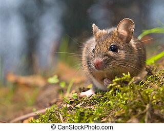 rato, natural, habitat