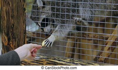 raton laveur, alimentation, cage, zoo