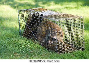raton laveur, cage, piégé