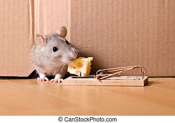 ratonera, rata, queso