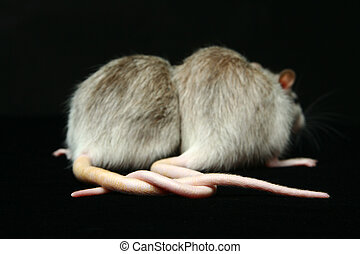 Rats with Connected tails