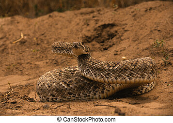 a diamondback rattlesnake coiled and ready to strike its victim