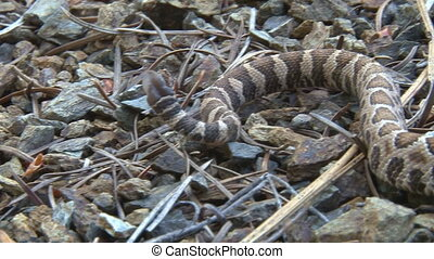 Rattlesnake at bay - A juvenile rattlesnake, alert and at...