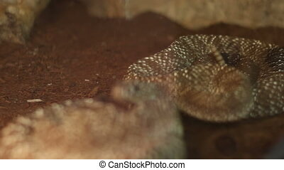 Rattlesnake Curl - Shifting focus to a deadly curl of a...
