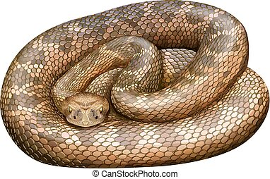 Rattlesnake - Illustration of a close up rattle snake