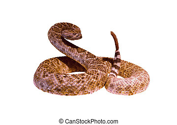 Rattlesnake in a threatening posture. Isolated on white...