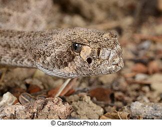 rattlesnake., ocidental, diamondback