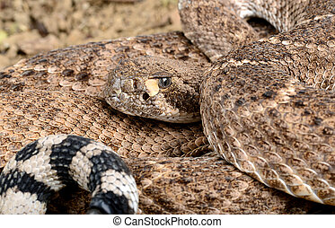 rattlesnake., ocidental, diamondback