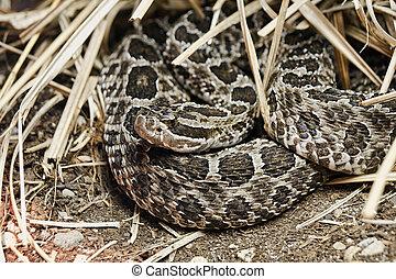 Rattlesnake - Eastern Massasauga Sistrurus catenatus...