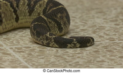 Rattlesnake Pit Viper Being Moved, Costa Rica, - Extreme ...
