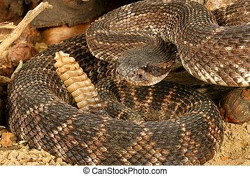 rattlesnake., porträt