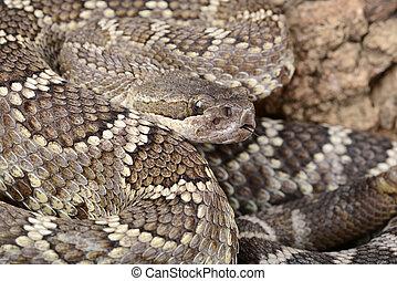 rattlesnake., südlicher pazifik