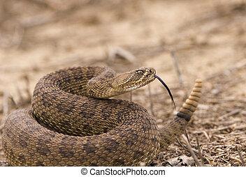 Rattlesnake - Western rattlesnake strike ready