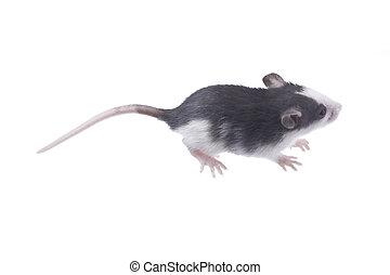 ratto, bianco, isolato