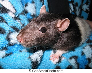 ratty, amour