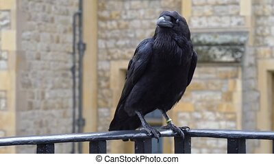 Raven at the Tower of London City - Raven at the Tower of ...