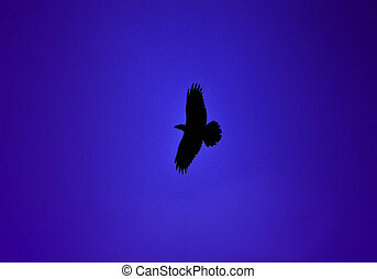 raven bird in flight with blue sky background