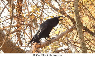 Raven black wise bird - Raven looks on a yellow background...