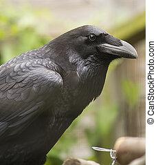Raven - Closeup portrait of a black raven.