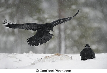Raven, Corvus corax, Finland, winter