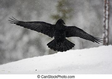 Raven, Corvus corax, flight, Finland, winter