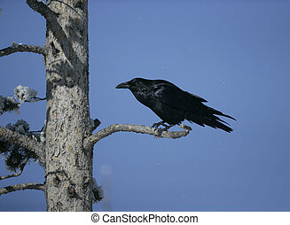 Raven, Corvus corax, single bird in tree, Yellowstone, USA