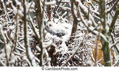 Raven corvus frugilegus sit in nest at winter, strong ...