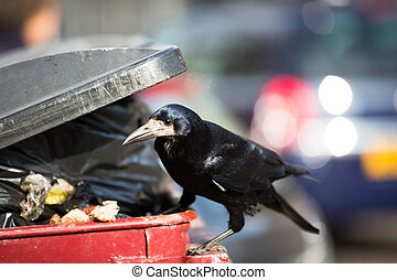 Raven feeding on rubbish in a city
