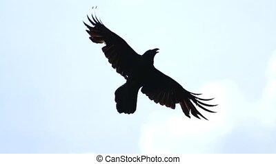 Raven flies across the blue sky Slow Motion, mysticism and...