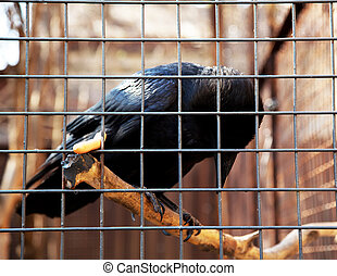Raven in cage
