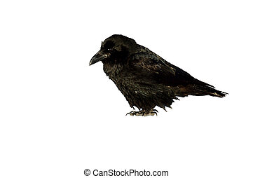 Isolated image of a raven