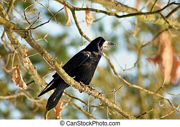 Raven on a branch