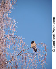 Raven on a branch in the winter. Su
