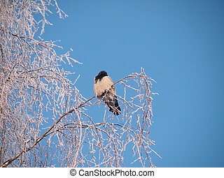 Raven on a branch in the winter. Sunset