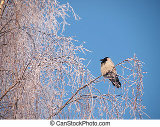 Raven on a branch in the winter
