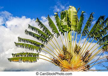 Ravenala palm called also travelers tree, the symbol of Madagascar