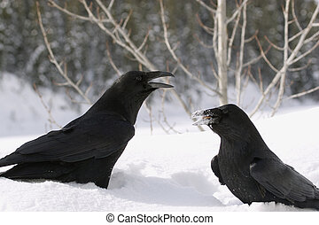 Ravens in the snow, posing for the camera