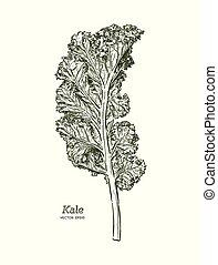 ravizzone, vector., disegnare, mano, vegetable., schizzo