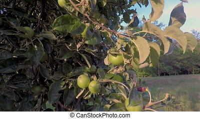 Raw apple at spring time