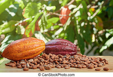 Raw colorful cacao ripe