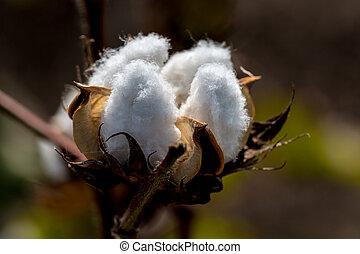 Raw Cotton Growing
