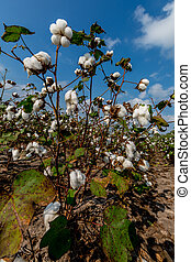 Raw Cotton Growing in a Field