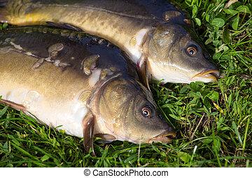 Raw fish carp